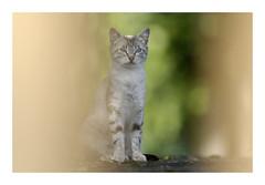 Le chasseur chassé...! (db_copyright photography) Tags: superbe minou pontàmousson nature chasseur félin catz cat chat chaterrant billebaude ngc
