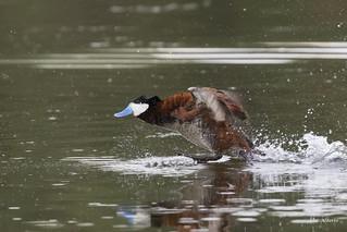 Ruddy Duck / Érismature rousse
