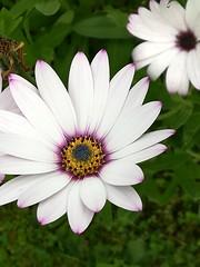 Flower (daveandlyn1) Tags: flower daisies closeup macro pralx1 huawei depthoffield dof smartphone cameraphone psdigitalcamera