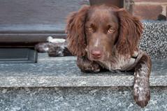 Dangerous Watchdog (GeorgKazrath) Tags: hund hundaiko canon dogs dog hunde münsterländer puppy welpe