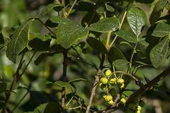 159/365  Toxicodendron diversilobum (Poison Oak)