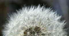 Small things (RJS_Photo) Tags: macro flower floral seeds closeup blossom blooming nature gardens abstract composition fleur blumen dandelion wildflowers