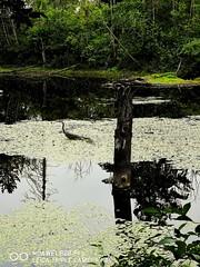 Blue Heron. (thnewblack) Tags: huawei p20 p20pro android smartphone leica leicaoptics outdoors nature britishcolumbia wildlife blueherron bird f24 10mp hybridzoom 3xzoom