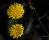 En pareja (Anavicor) Tags: dandelion taraxacum dientedeleón yellow wild amarillo silvestre spring primavera nikon d5300 tamron anavicor anavillar villarana macro quintaflower thursdayflower juevesdeflores jueves thursday jeudi giovedi donnerstag