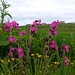 Red Campion (Sweet William) and Meadow Buttercup (Craa Tae)