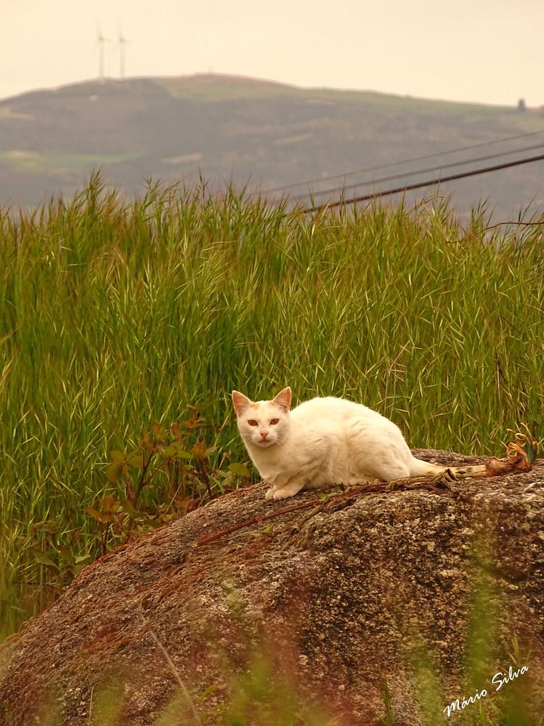 Águas Frias (Chaves) - ... o gato branco destacando-se na paisagem ...