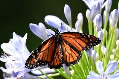 Monarch DSC_0185 (blthornburgh) Tags: monarch monarchdanausplexippus milkweedbutterfly