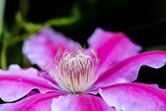 (wallnut65) Tags: fujifilmxt20 fujinon56mmf12 fujiflimmcex11 flower macro