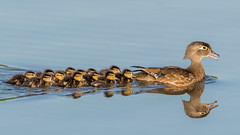 Wood Duck Family (Explored, thank you very much) (Kevin E Fox) Tags: woodduck peacevalley ducklings baby pennsylvania water duck bird nikon d500 sigma150600sport