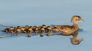 Wood Duck Family (Explored, thank you very much)