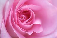 rose encore (christophe.laigle) Tags: rose christophelaigle natural nature flower nantes parcdelaroseraie droplets drops macro pink fuji gouttes fleur blanc xpro2 xf60mm white abigfave