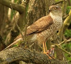 Sparrow Hawk. (Olive Taylor. Thank you for your visit.) Tags: sparrowhawk hunter hawks birdofprey birds beaks talons northumberland wildlife nature northeastengland