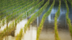 World under the Patty (jasohill) Tags: 2018 spring under color nature water city iwate explore rice hachimantai photography life adventure green paddy mystery japan landscape