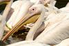 Pelikan (franzmarkus) Tags: nikon d600 fx nikkor zoo vögel deutschland germany