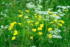 Buttercups & Yarrow (Ravensthorpe) Tags: york plants flowers buttercups yarrow