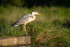 Heron posing (Susanne Leyh) Tags: heron reiher bird vogel nature wildlife natur tier outside outdoors greyheron graureiher nikon nikkor evening britishwildlife