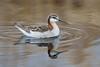 Wilson's Phalarope - Male (Turk Images) Tags: beaverhilllakearea phalaropustricolor wilsonsphalarope alberta birds scolopacidae tofield wiph prairie shorebird spring