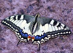 Schwalbenschwanz (anubishubi) Tags: insekt insect schmetterling butterfly falter tagfalter ritterfalter schwalbenschwanz pentaxk100dsuper