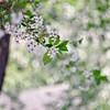 Cherry blossom (Stefano Rugolo) Tags: stefanorugolo pentax k5 pentaxk5 ricohimaging helios helios442 helios44258mmf2 primelens vintagelens manualfocuslens manualfocus bokeh blooming flowers cherryblossom white tree branches spring hälsingland sweden sverige depthoffield