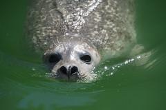 Peek a Boo (Rudi Pauwels) Tags: fotosondag ogonkontakt fs180603 seal swimming water green slottsskogen eyecontact