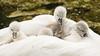 Swan and Cygnets-8582 (Geoffrey Shuen Photography) Tags: swan cygnets