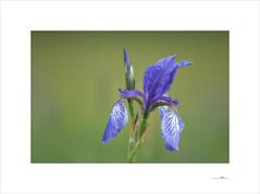 Kállos (E. Pardo) Tags: flores flowers blumen belleza beauty schönheit iris pradera meadow wiese colores colours farben primavera spring frühling steiermark austria