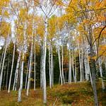 Birch Trees in Autumn thumbnail