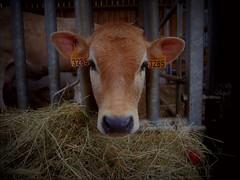 vachette (ElviShSpiriT) Tags: vache veau animal ferme foin nature campagne menez menezmeur bzh bretagne jolie