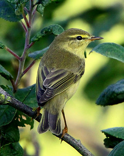 Willow Warbler Stutton Mill Suffolk