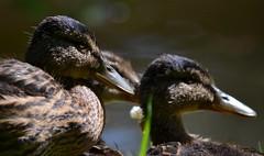 Ducks, headshot (simon edge) Tags: nikon d5100 55500mm chesterfieldcanal duck ducks