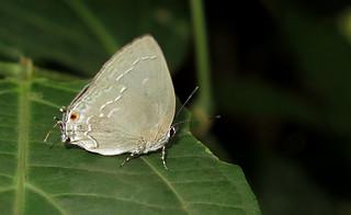 Strephonota tephraeus