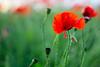 Lone poppy (Jazpix) Tags: hardwickpark derbyshire poppies poppyfield flowers redflowers petals leaves green outdoor