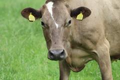 Premium Gold Magic (excellentzebu1050) Tags: livestock dairycows cattle closeup cow farm field animalportraits animal coth5