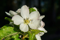 Apple Blossom (CamOnPictures) Tags: apple natur wald nature forest blossom macro spring flower pollen white green color