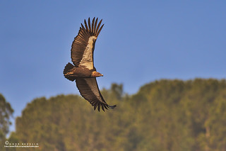 White-rumped vulture.