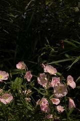 jdy143XX20180523a2248Bias-1.7 stops.jpg (rachelgreenbelt) Tags: ghigreenbelthomesinc oenotheraall usa oenotheraberlanderisiskiyoupink greenbelt ordermyrtales midatlanticregion ouryard rosids americas subfamilyonagreae northamerica maryland familyonagraceae eudicots magnoliophyta eveningprimrose floweringplants myrtales myrtalesorder oenothera onagraceae onagraceaefamily onagreae onagreaesubfamily spermatophytes suncup sundrop