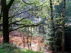 The autumnal ferns (Jacek Magryta) Tags: jacek autumn forest fern zielonka zgorzeleccounty zielonkavillage borydolnoslaskie landscape lowersilesia light nature colours tree poland polska lights l