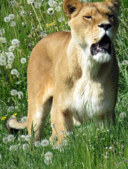 IMG_0005 (duncansmith50) Tags: yorkshirewildlifepark lions polar bears black rhino tigers giraffes doncaster