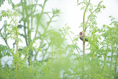 Goldfinch (Benjamin Joseph Andrew) Tags: bird passerine farmland agricultural spring perched perching colourful songbird farming looking