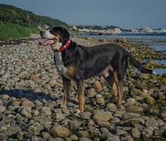 Greater Swiss Mountain dog Fips vom Höhegarten (frankmh) Tags: animal dog greaterswissmountaindog grosserschweizersennenhund laröd helsingborg skåne sweden