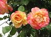Wir haben, Gott, dein Fest gehalten (amras_de) Tags: rose rosen ruža rosa ruže rozo roos arrosa ruusut rós rózsa rože rozes rozen roser róza trandafir vrtnica rossläktet gül blüte blume flor cvijet kvet blomst flower floro õis lore kukka fleur bláth virág blóm fiore flos žiedas zieds bloem blome kwiat floare ciuri flouer cvet blomma çiçek