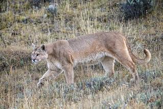 Puma on Patrol