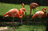 Zoo Sete Rios (hans pohl) Tags: portugal lisbonne zoo animaux animals nature birds oiseaux flamands roses