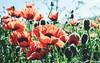 Poppy time again❤️xx (shona.2) Tags: giant orientalpoppy eastlothian scotland gullane blooming blooms summer spring remembrance green orange red poppies poppy flowers