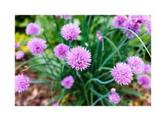 Spring (gerritdevinck) Tags: garden tuin green greencolor flowers bloemen spring lente gerritdevinckfotografie gerritdevinck fujifilmseries fujifilm fujifilmbelgium fujifilmphotography fujifillmx100t xseries x100t