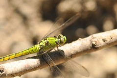 """Bright Green Dragonfly 6 (Tynan Phillips) Tags: nature nikon nikond90 d90 dslr canada bc """"britishcolumbia"""" denmanisland dragonfly dragonflies insect insects bug bugs animals wildlife macro green """"erythemiscollocata"""" """"westernpondhawk"""""""