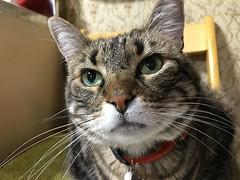 Inquisitive (sjrankin) Tags: 31may2018 edited animal cat tigger closeup chair wall kitchen sink cabinet curious yubari hokkaido japan