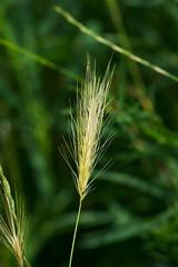 Weizenhalm (Lutz Blohm) Tags: weizenhalm naturfoto natur getreide landwirtschaft sonyfe70300goss bokeh sonyalpha7aiii