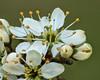 Schwarzdorn (3) (dr.klaustrumm) Tags: schwarzdorn prunusspinosa rosengewächs frühling natur