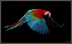 Scarlet Macaw. (ronalddavey80) Tags: scarlet macaw flight colours canon eos70d tamron 70300mm